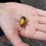 Gold beetle found at lodge