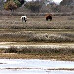 Ponies grazing in the marsh