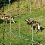 Wild Dogs at LionsRock