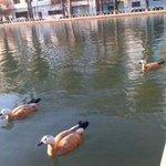 casarca goose