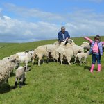 Feeding the sheep on the Sussex Downs