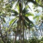 Boy climbing a coconut tree (Captain Tama's glass-bottom boat)
