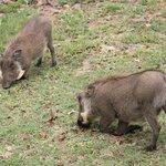 Wildlife hautnah - Warzenschweine im Camp