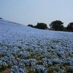 丘を埋めるネモフィラ