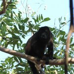 howler monkeys on the road