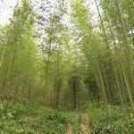 Amazing bamboo forest