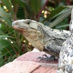 friendly Iguana by the pool