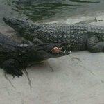 pasto dei coccodrilli