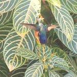 antilean humingbird