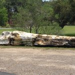 Amazing petrified tree found when the gardens were excavated
