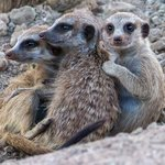 Little Meerkat colony close to the main homestead