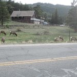 Elk having dinner across the street from motel