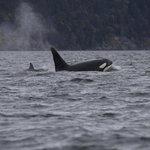 Wonderful Orcas