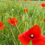 Poppies in Dordogne