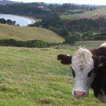 A pensive heifer.