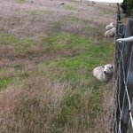 Sheep nestled against the fence