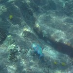 """Parrot Fish at Lanai... This one was about 12"""" long! 3/19/14"""
