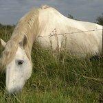 cavalli vicino a Mas de Calabrun