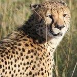 Cheetah seen on game drive