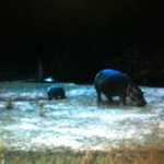 View from the restaurant of Hippos grazing at night