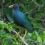 Wildlife - Purple Gallinule