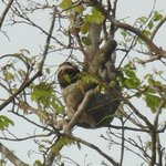 Wildlife - Three-toed Sloth