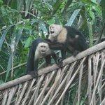 Wildlife - White-faced Capuchin Monkeys