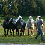 Chevaux Percheron / Percheron horses