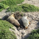 Sealions in the dunes