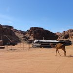 wild camel in the camp