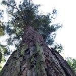 sequoia americana