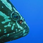 Nassau Grouper, up close and personal