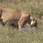 Löwe mit Zebra