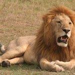 Close to a lion