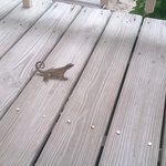 'Our' resident curly tail lizard on veranda