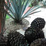 The Begining of Organic Tequila