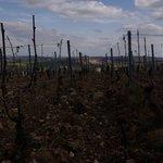 Au coeur des vignes pour les explications