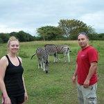 Zebra walking around the ranch property