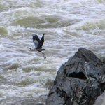 Heron flying over falls of Potomac