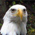 Bald Eagle at Pacific Northwest Raptor Centre