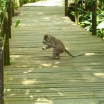 monkey at Abai resort