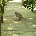 monkey at Abai resort