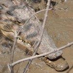 Solomon the croc