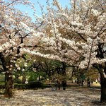 Different varieties of cherry blossoms and other flowers