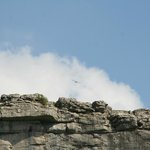 Peregrine soaring above Cove
