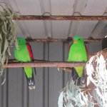 Red winged parrots in one of the old bird sheds