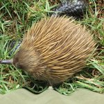One of the echidnas