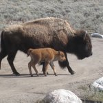 Newborn bison so cute!