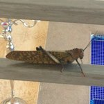 cricket in laguna mar