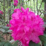 Rhododendrum on Trail Near Discovery Center